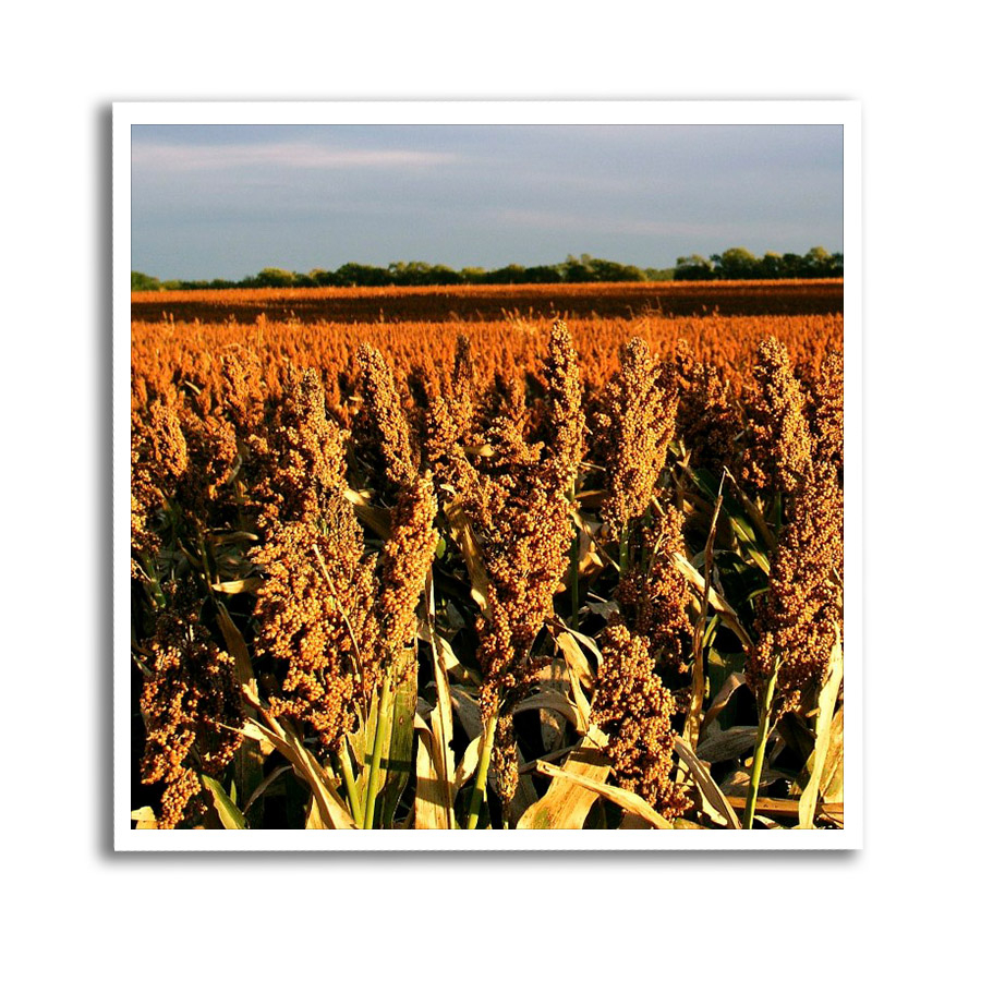 Governor Colyer's Statement on Chinese Sorghum Trade